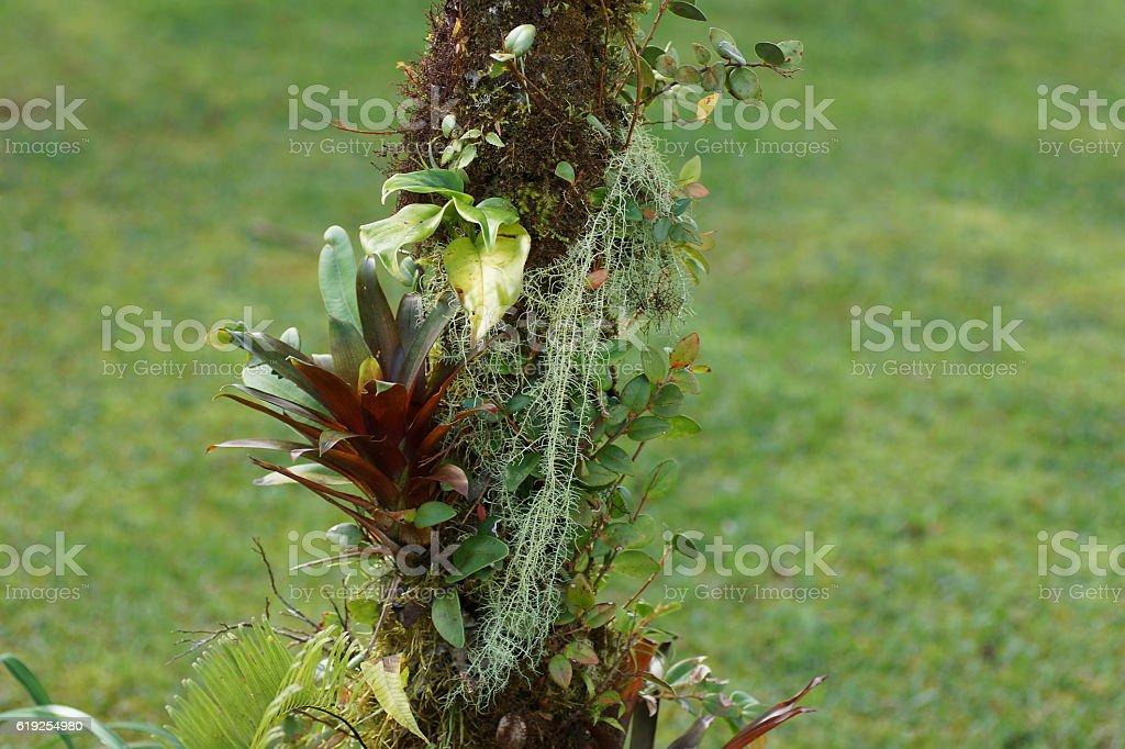 Bromeliads and moss on the tree. Poas Volcano nature. stock photo