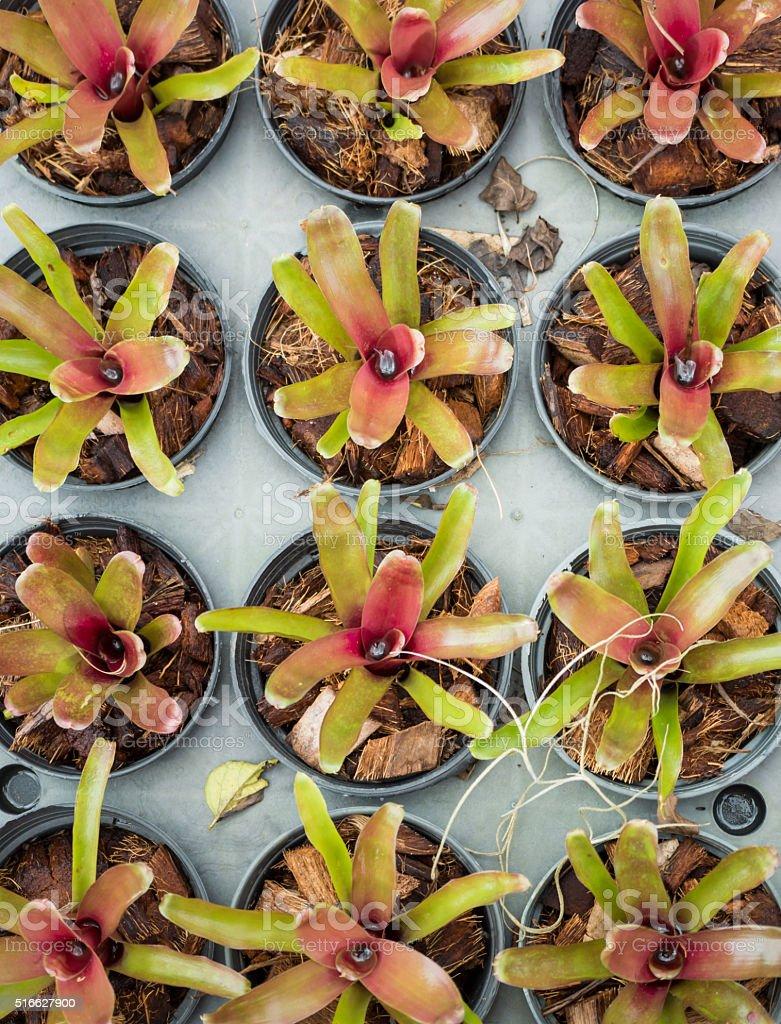Bromeliads nursery stock photo