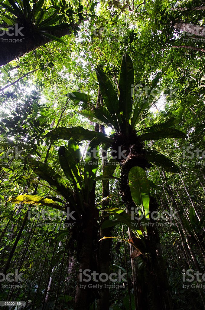 Bromeliads on the trees stock photo