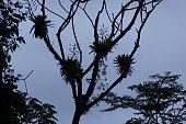 Bromeliads on tree