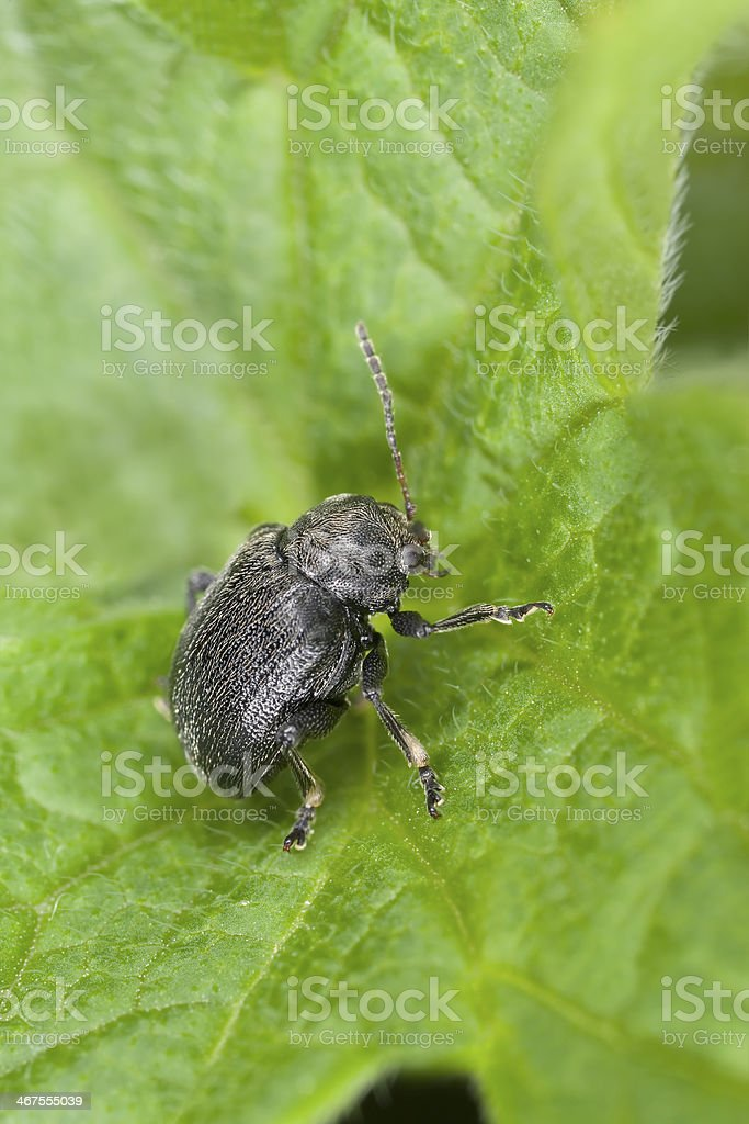 Bromius obscurus sitting on leaf stock photo