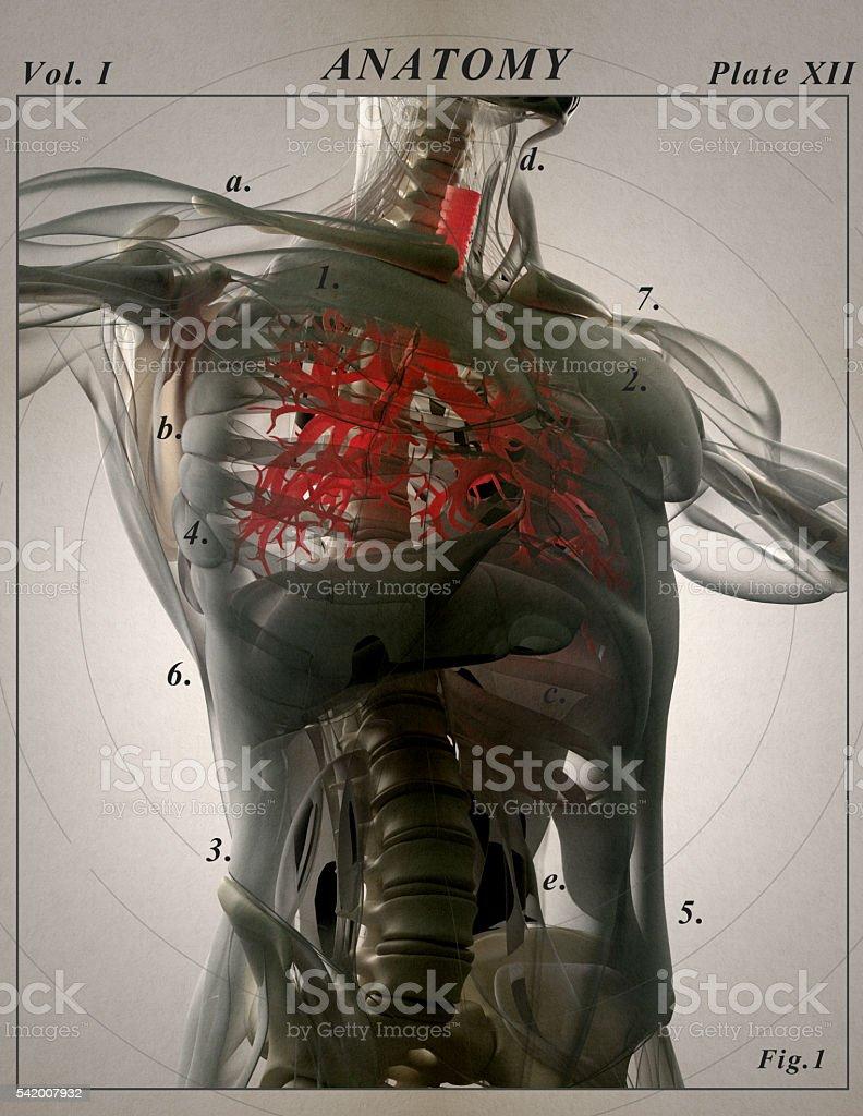 Bronchi, human anatomy lungs, futuristic scan technology. stock photo