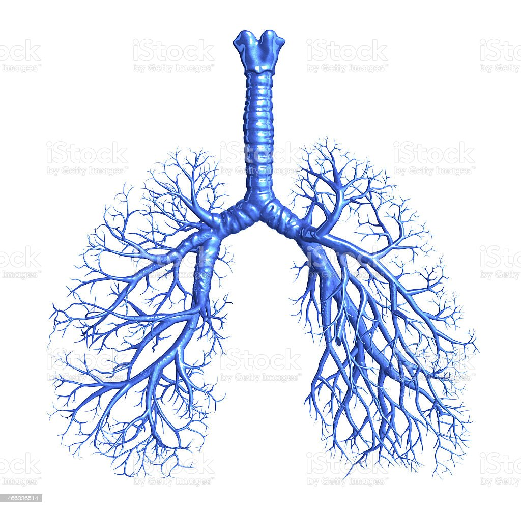 Bronchus stock photo