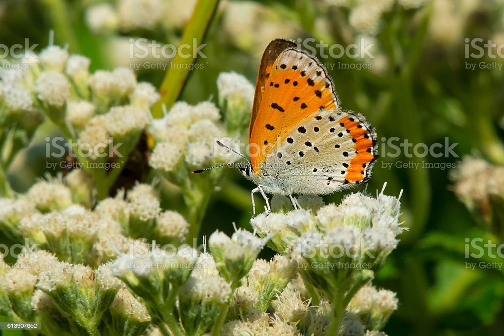 Bronze Copper Butterfly stock photo
