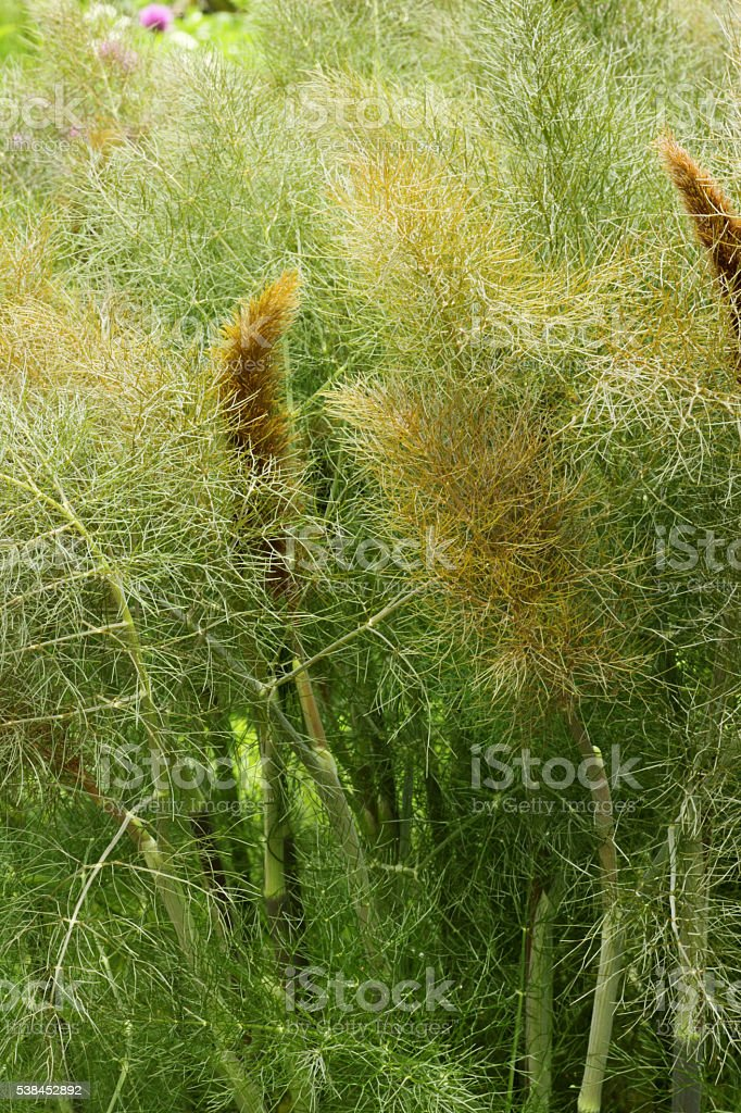 Bronze fennel stock photo