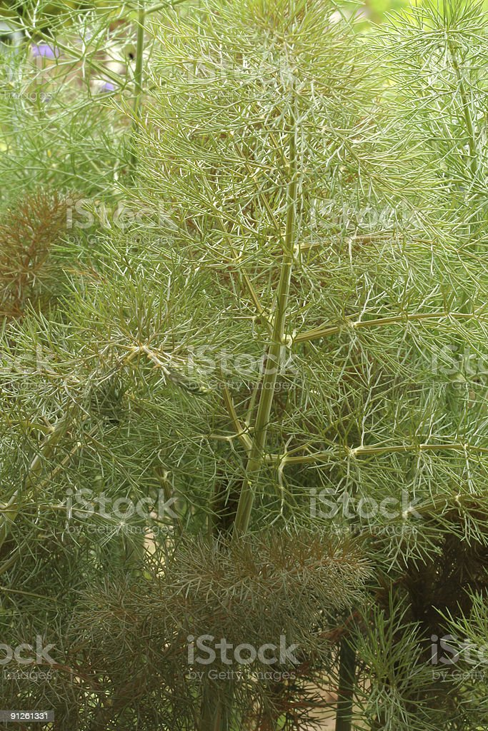 bronze fennel royalty-free stock photo