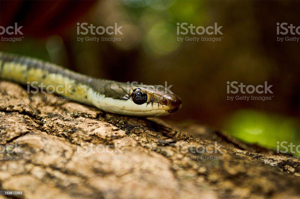 bronzeback tree snake royalty-free stock photo