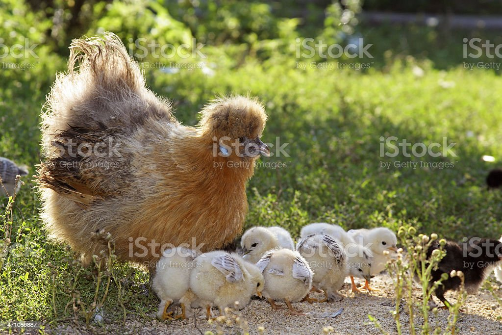 Brood hen - mother Chicken royalty-free stock photo