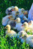 brood of goslings on the grass