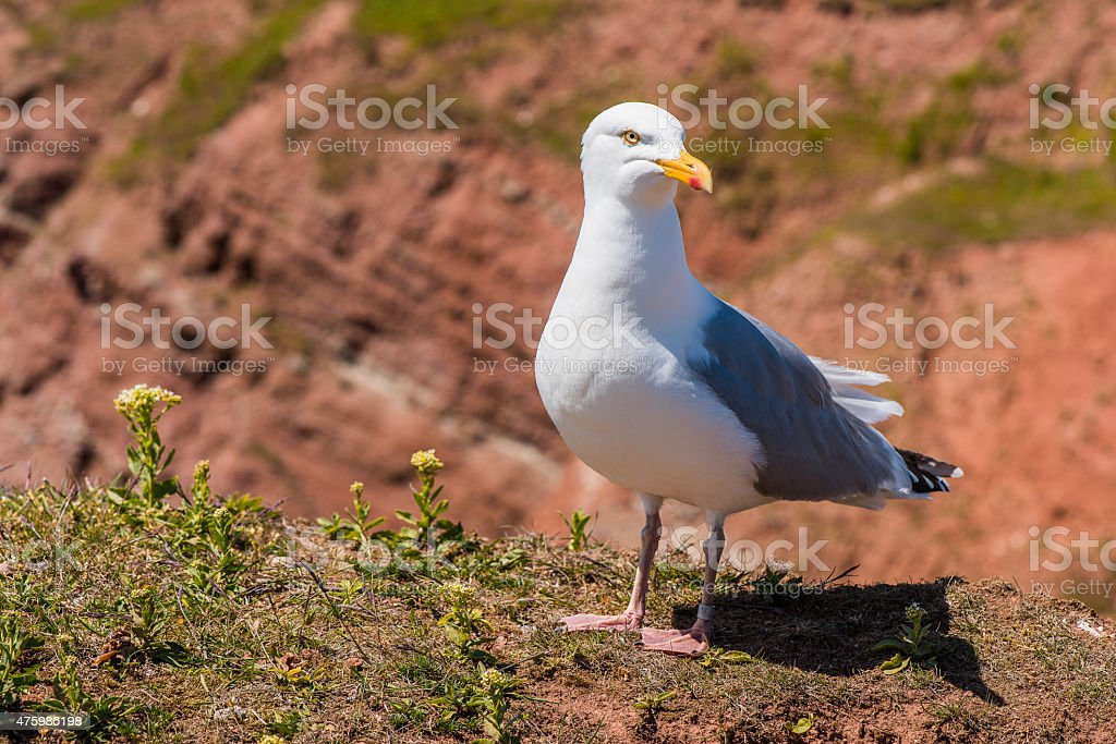 Brooding seagull , sea bird stock photo