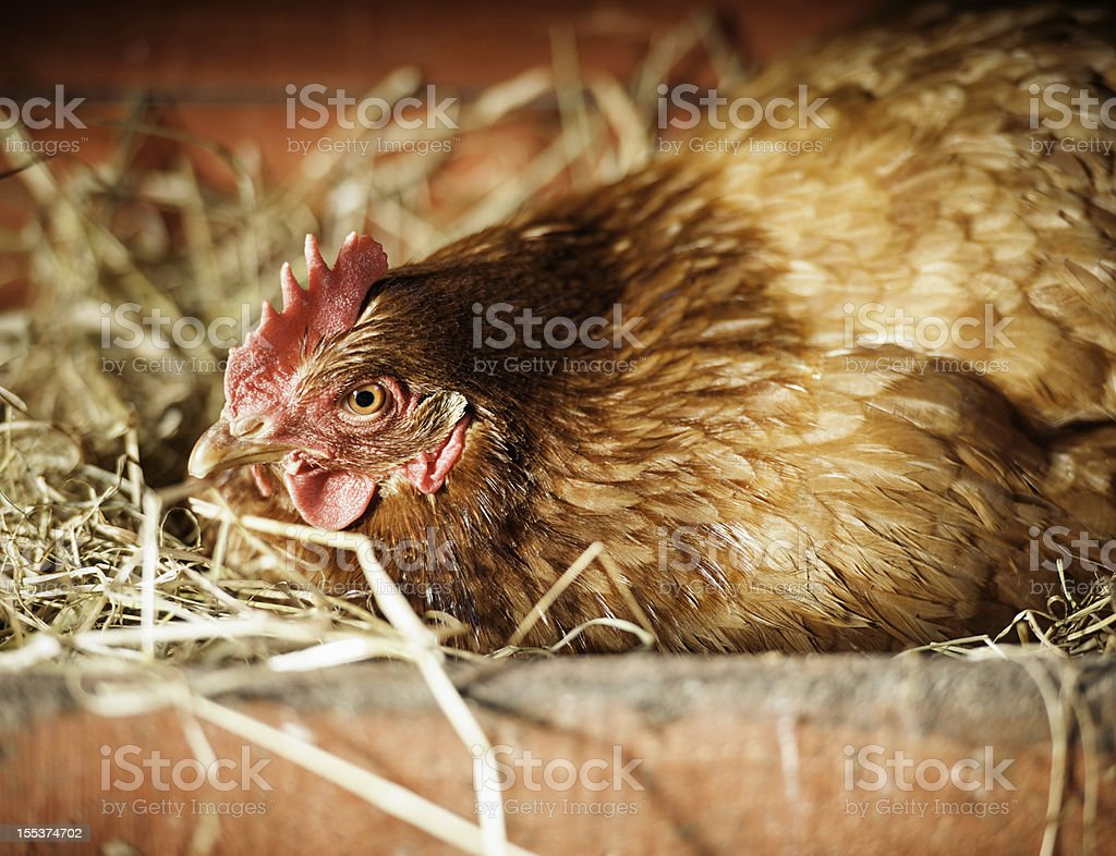Broody Hen Laying an Egg stock photo