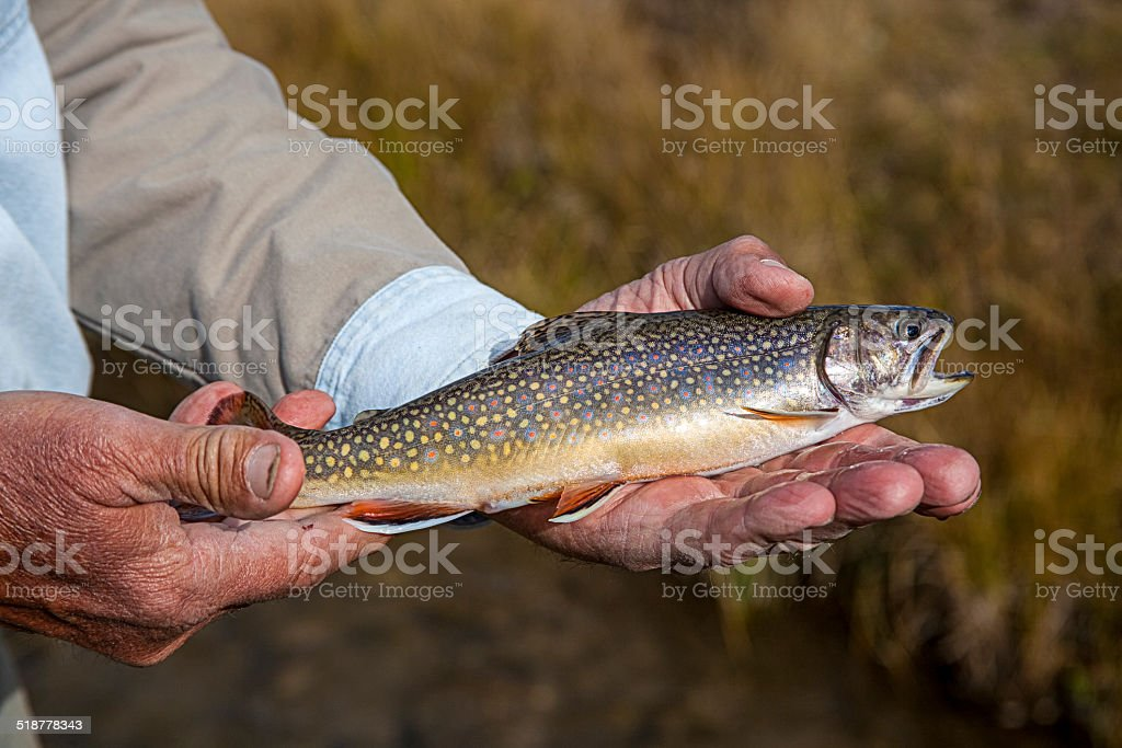 Brook Trout Close-up stock photo