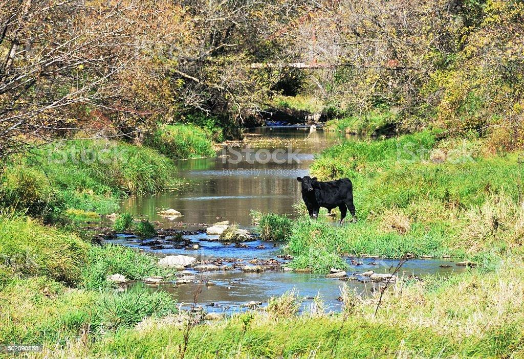 Brookside Bull stock photo