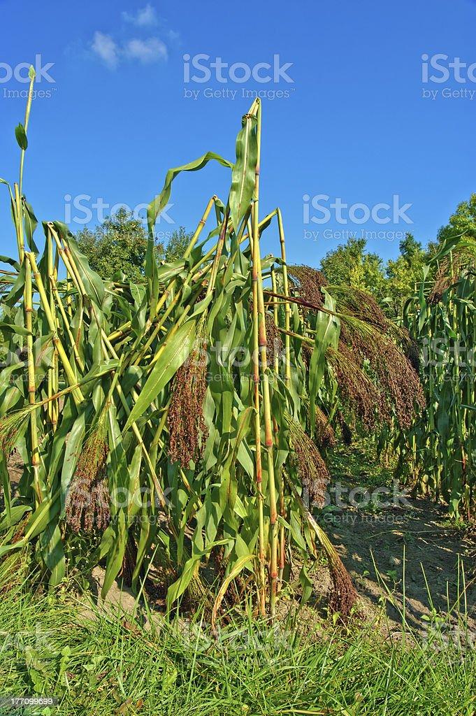 Broom Corn stock photo