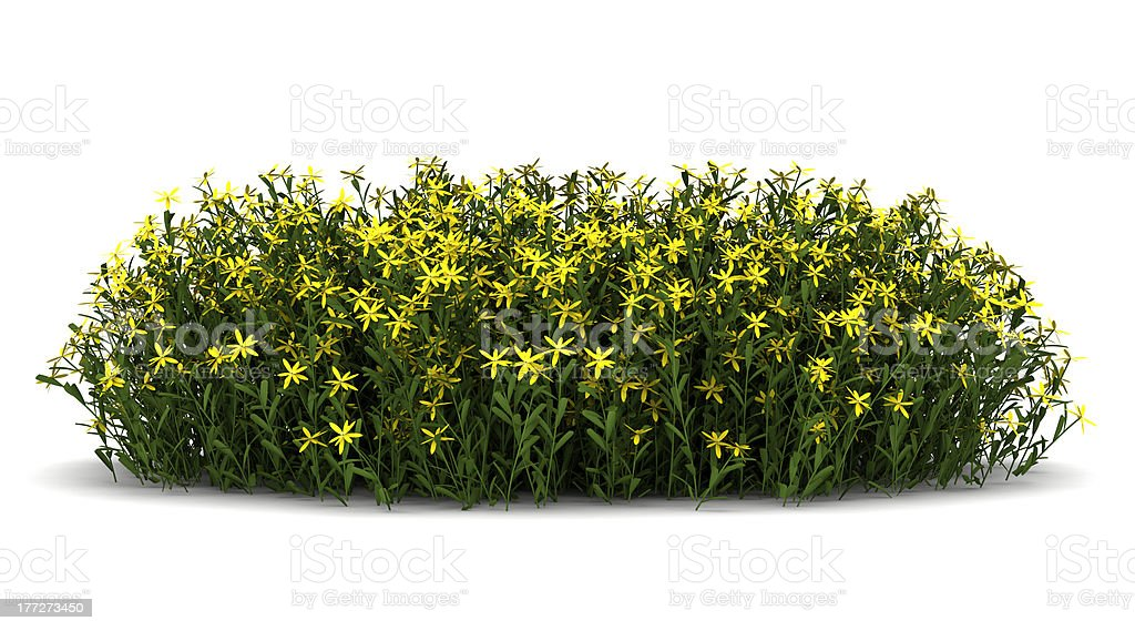 broom flowers isolated on white background stock photo