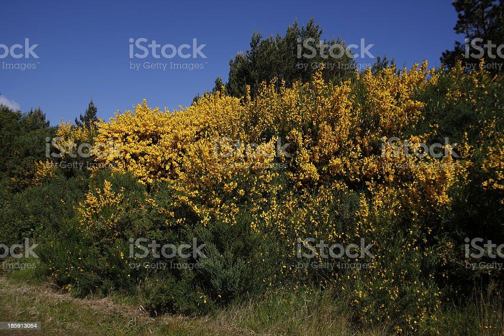 Broom, Sarothamnus scoparius stock photo