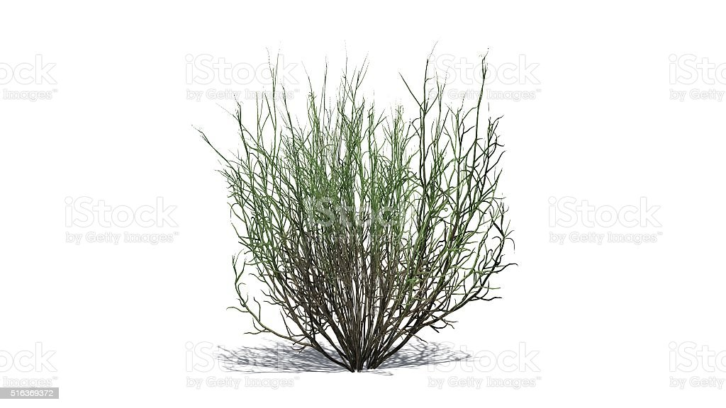 broom snakeweed isolated on white background stock photo