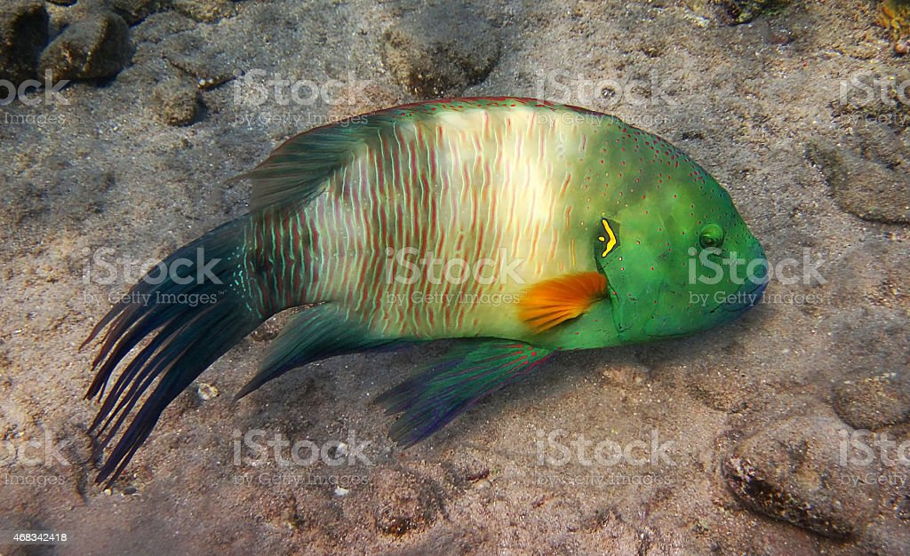 broomtail wrasse, fish kind stock photo