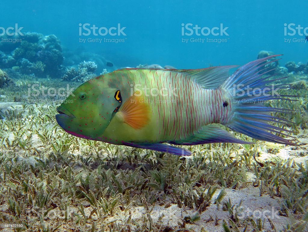 Broomtail wrasse stock photo