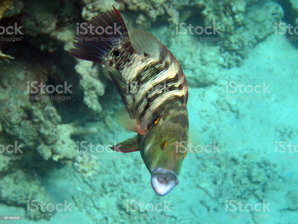 Broomtail Wrasse with open mouth, Egypt. stock photo