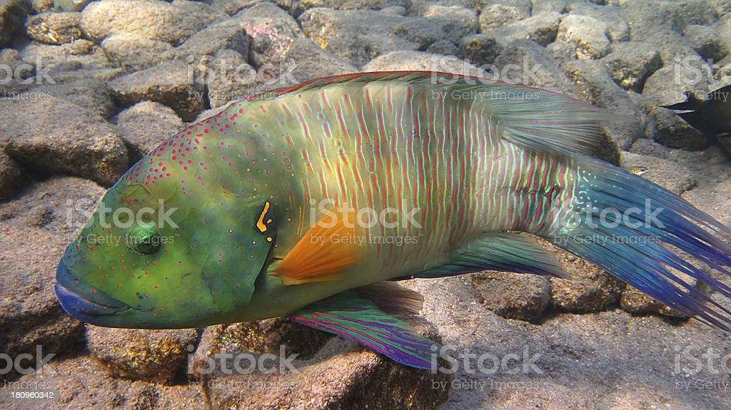 Broomtail Wrasse-fish kind stock photo