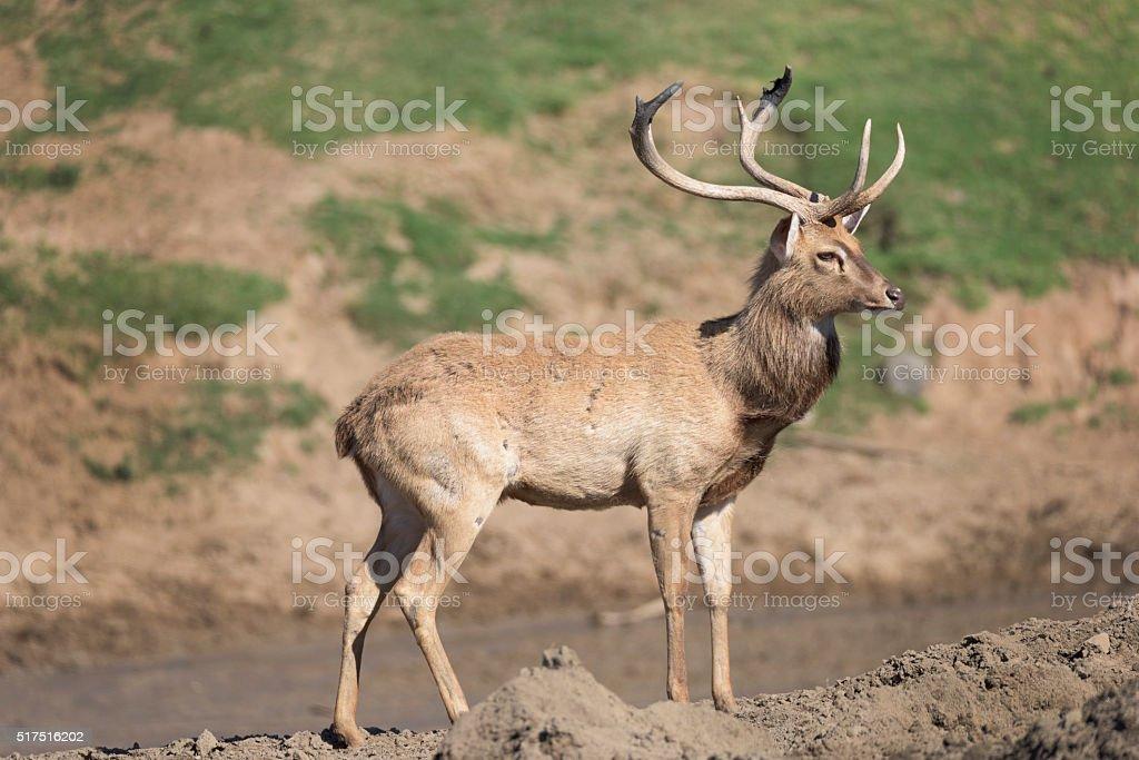 Brow Antler buck on a hilltop stock photo