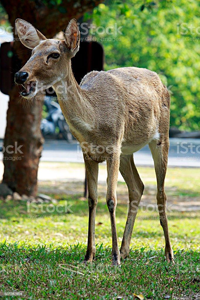 Brow-antlered deer stock photo