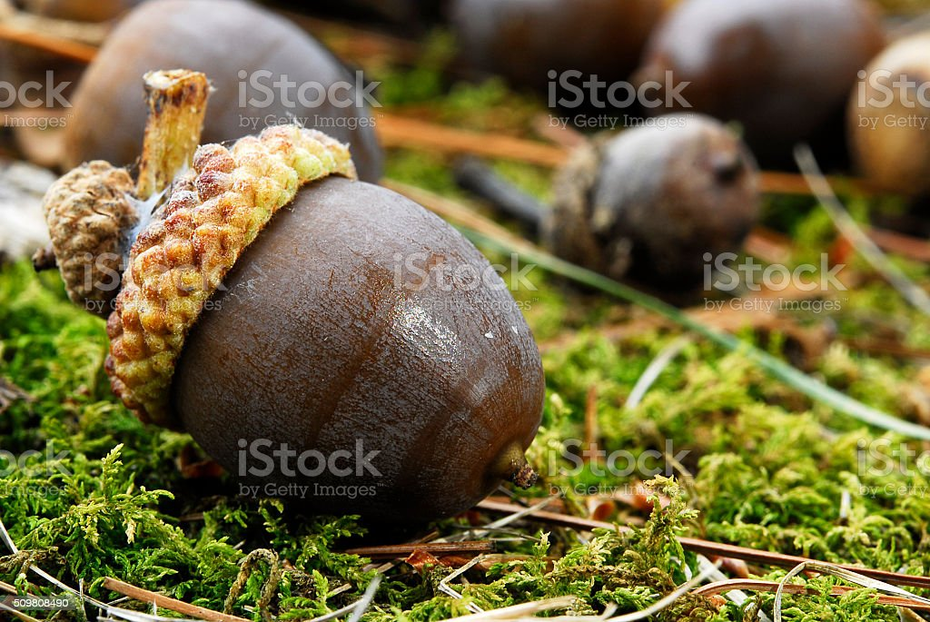 Brown Acorn on Forest Floor stock photo