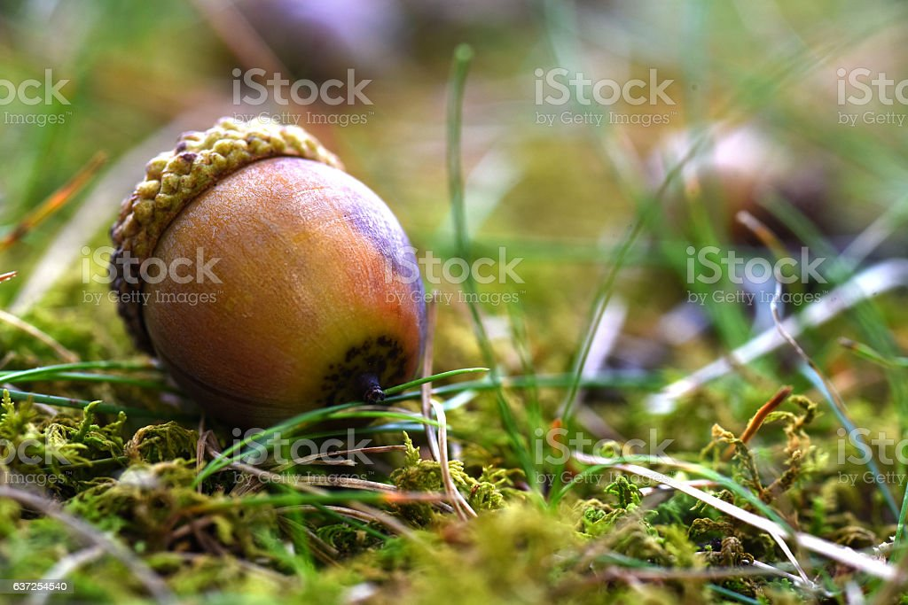 Brown Acorn on Forest Floor stock photo