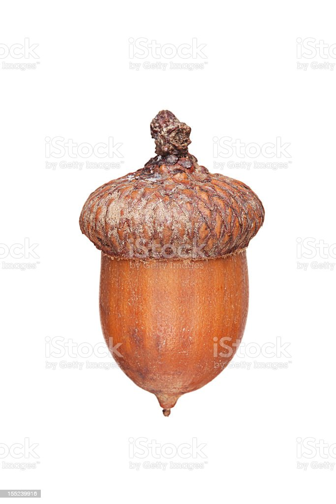 Brown acorn stock photo