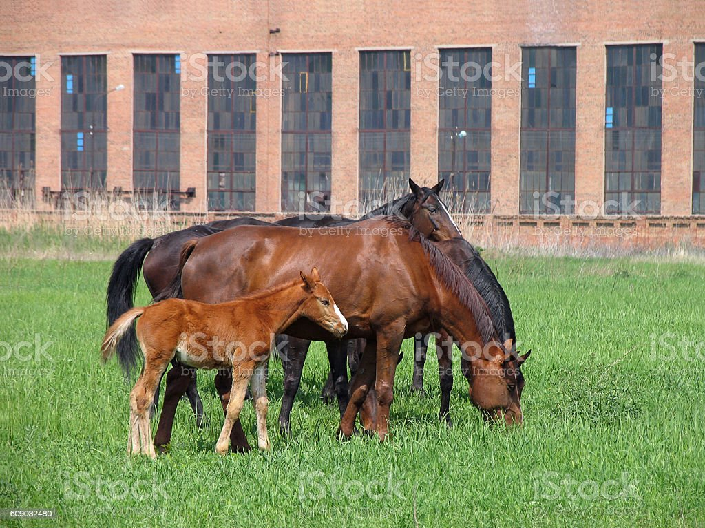 Brown adult horses and foal feeding not far from farm stock photo