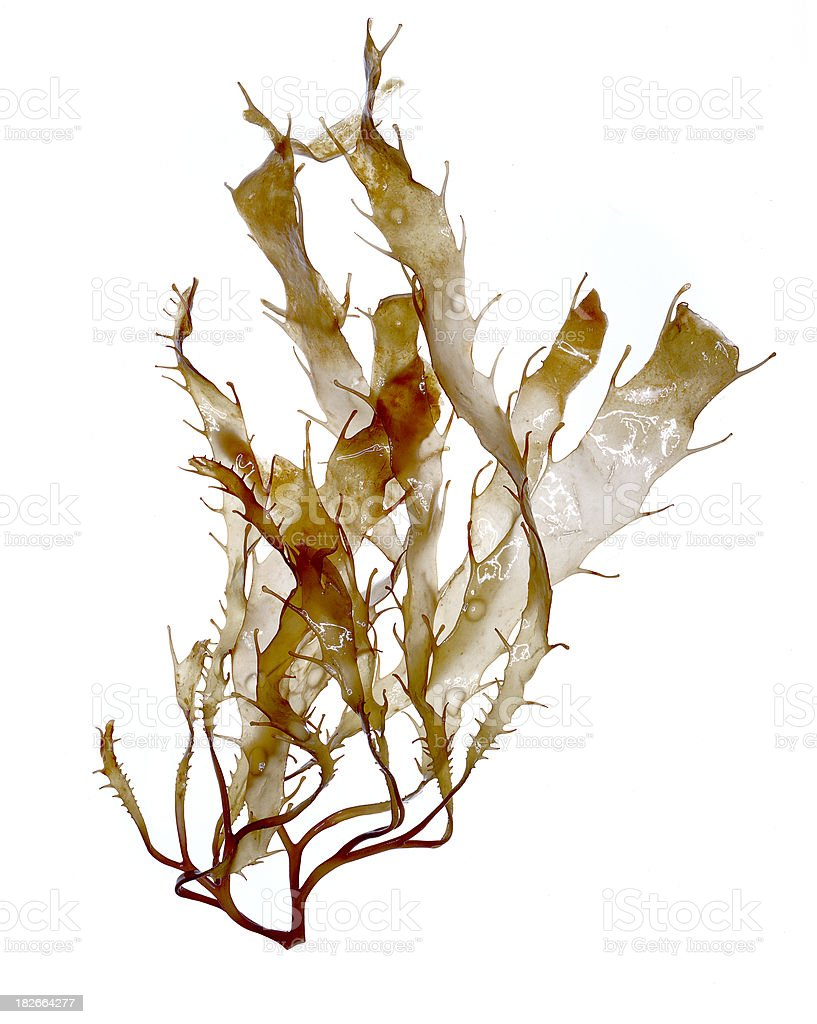 Brown Algae (Seaweed) Specimen stock photo