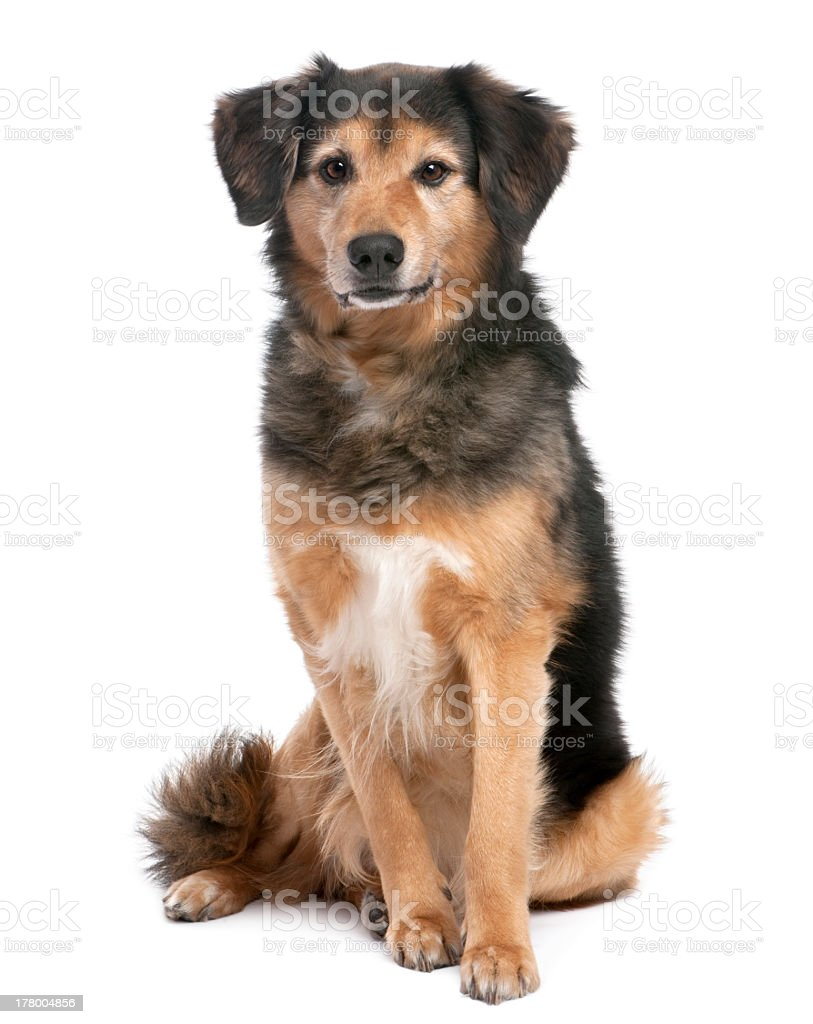 Brown and black mixed-breed dog sitting on white background royalty-free stock photo