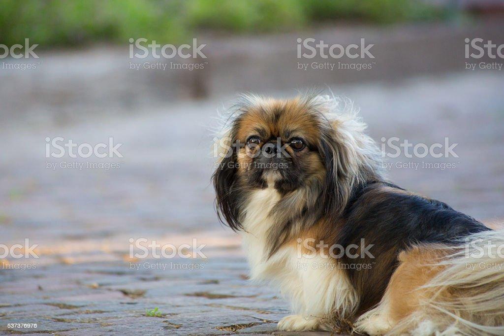 Brown and Black Pekingese Dog stock photo