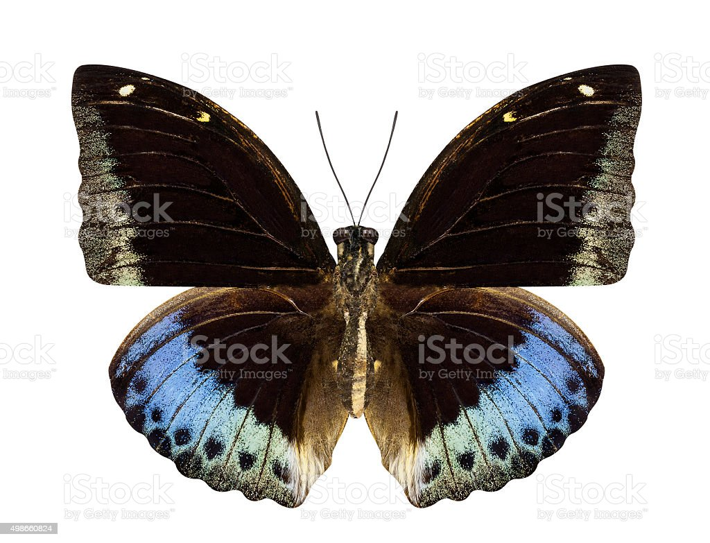 Brown and blue butterfly Hypolimnas monteironis isolated on whit stock photo
