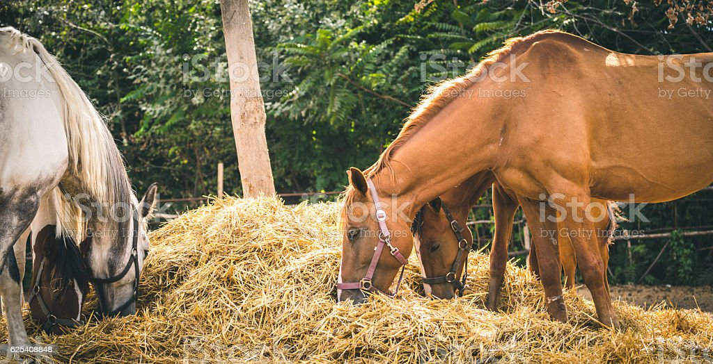Brown and gray horses eating a hay at ranch summertime. stock photo