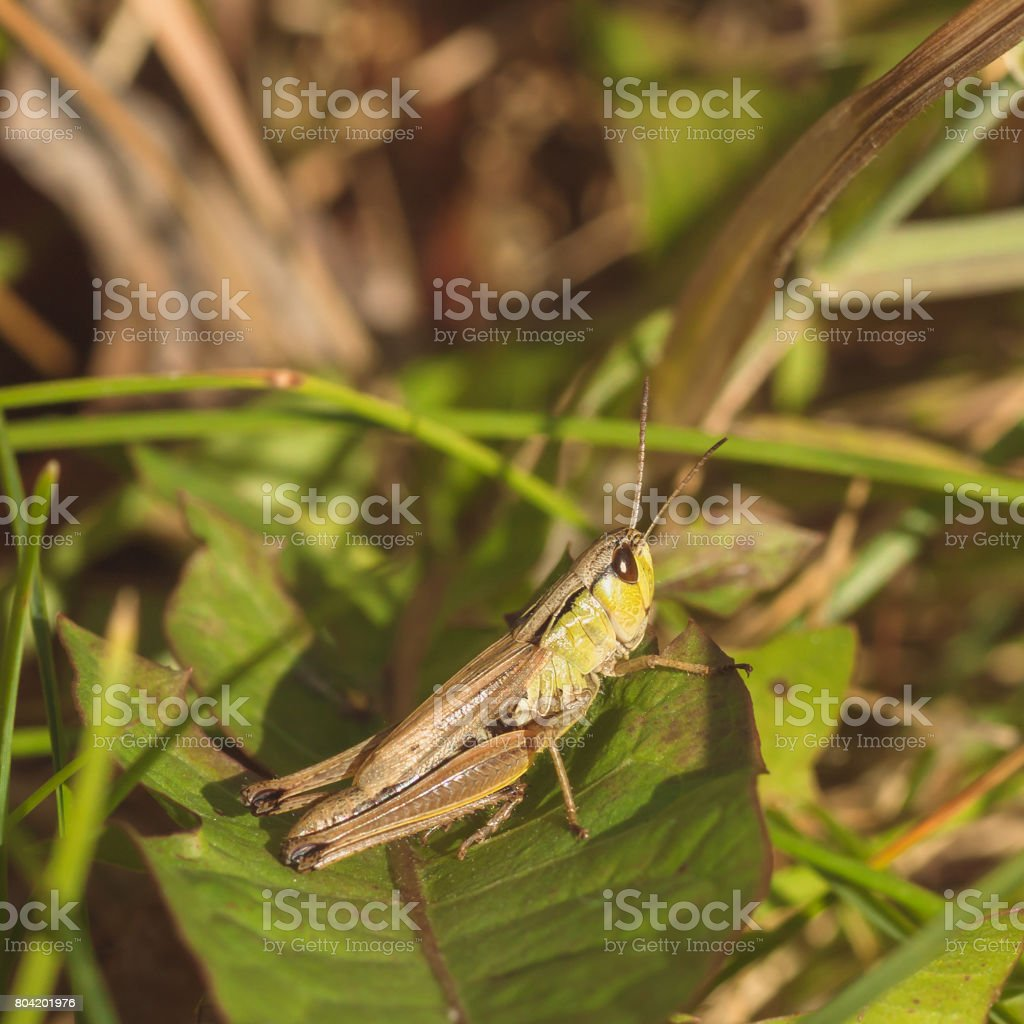Brown and Green Grasshopper stock photo