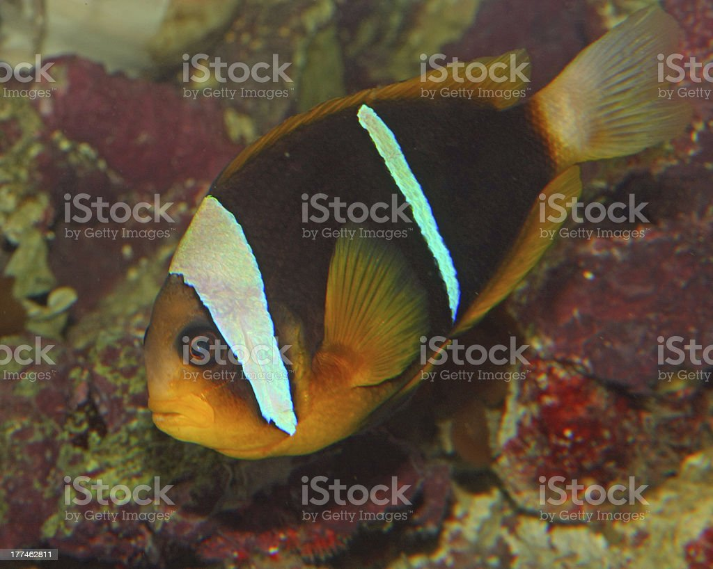 Brown and orange tropical fish with white lines royalty-free stock photo