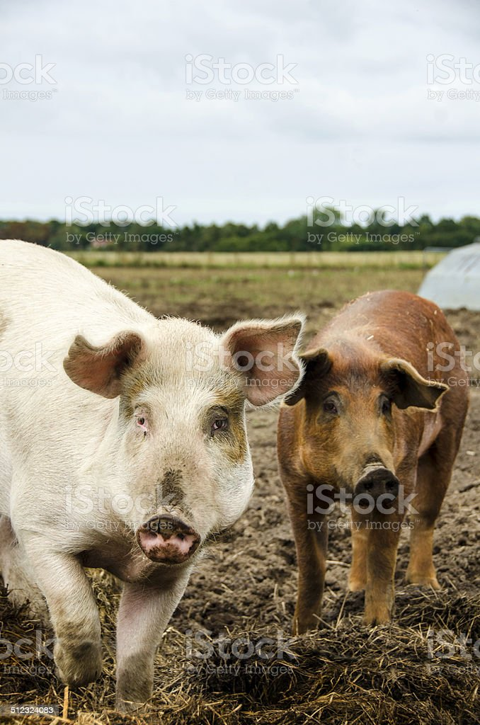 Brown and pink pig looking in the camera stock photo