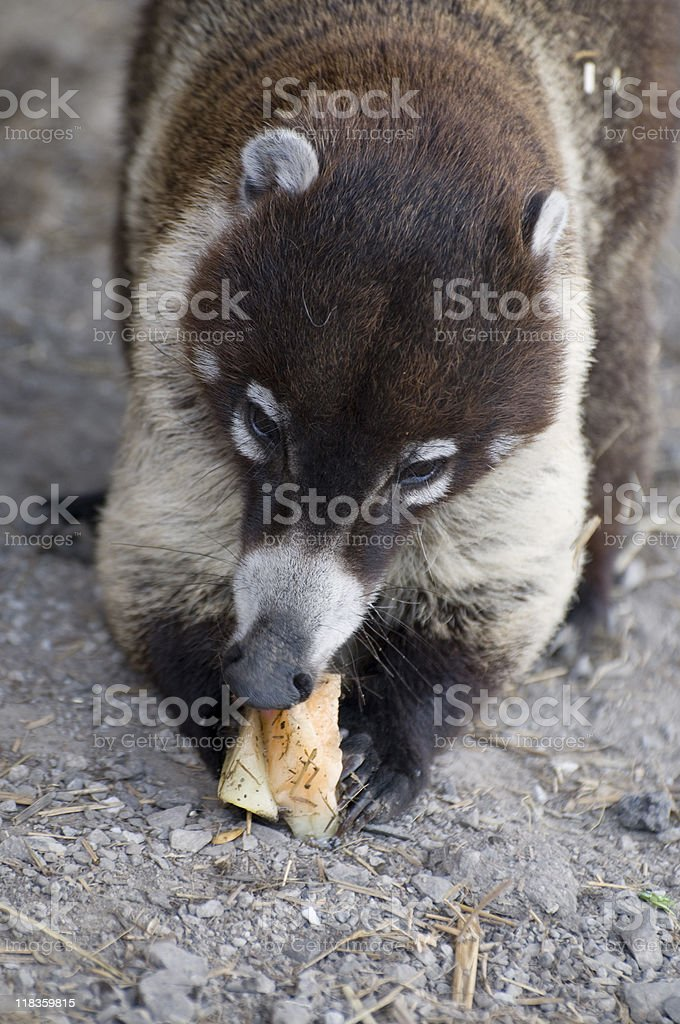 Brown and tan coati eating food on a rock outdoors. stock photo