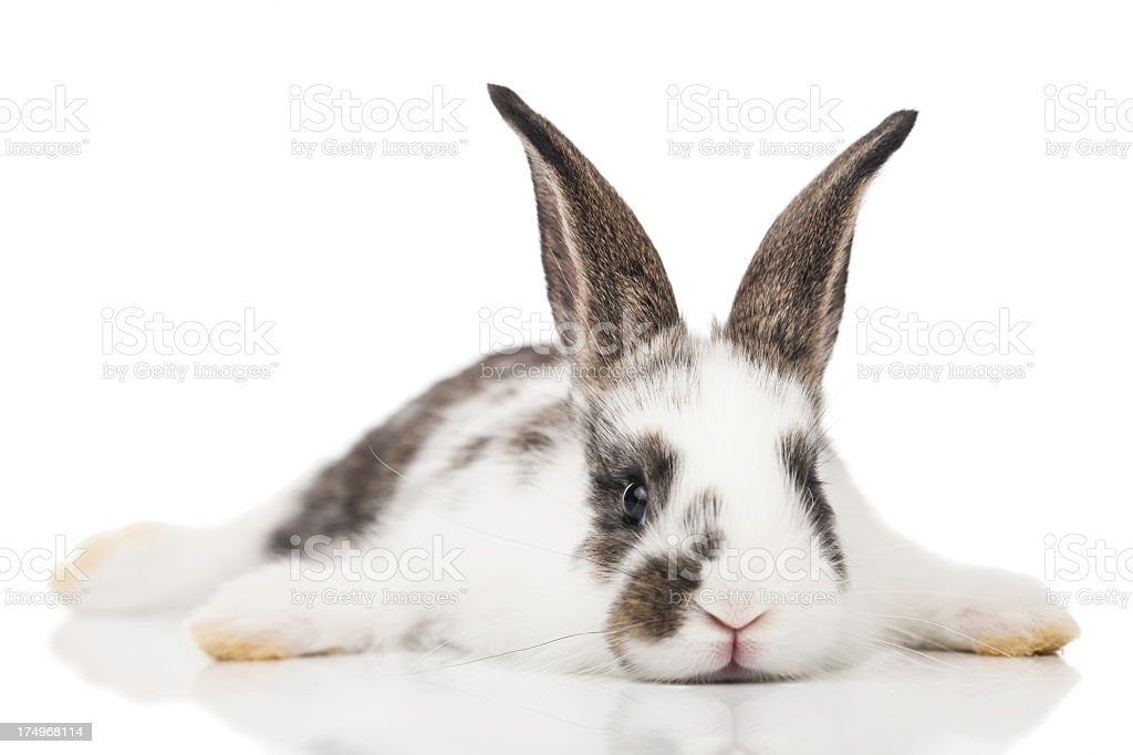 Brown and white baby bunny laying on a white surface stock photo
