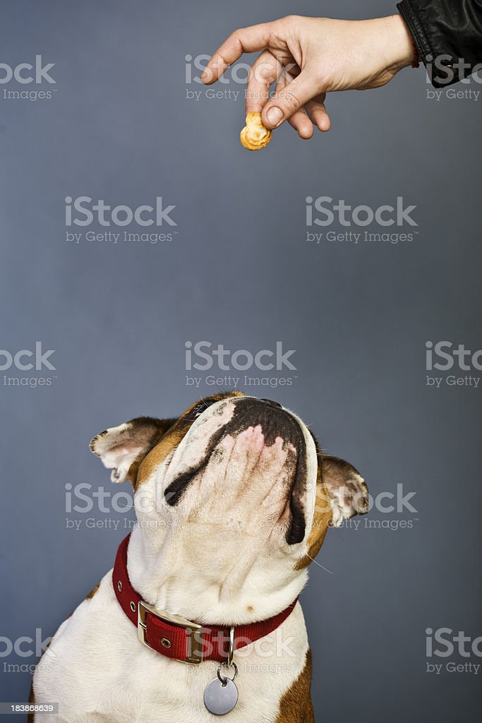 Brown and white bulldog waiting for a snak stock photo