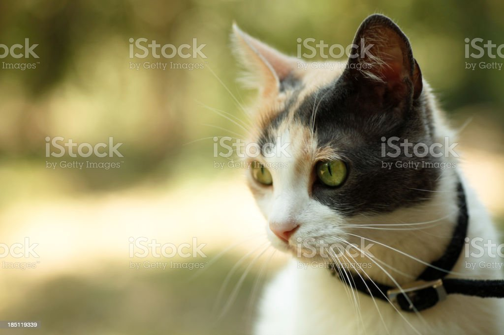 A brown and white calico cat sitting outside stock photo