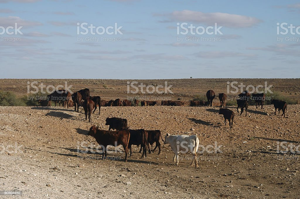 Brown and white cattle in an open dirt field  stock photo