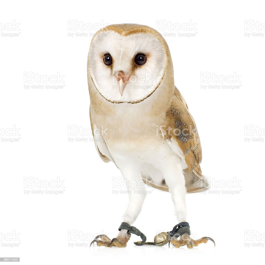 Brown and white common barn owl around 4 months old royalty-free stock photo