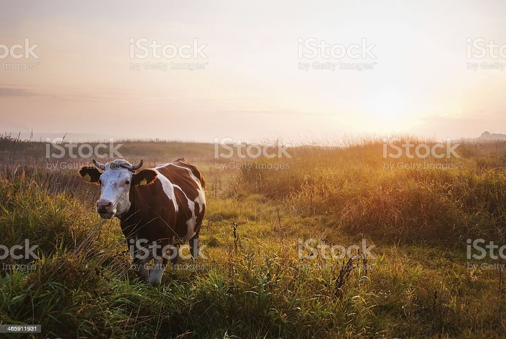 Brown and white cow in meadow at sunset stock photo