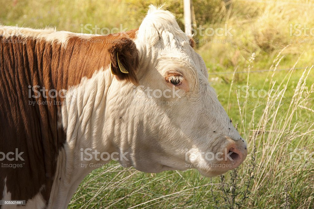 Brown and white cow royalty-free stock photo