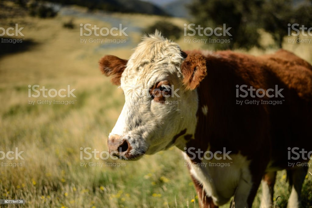 Brown and white cow stock photo