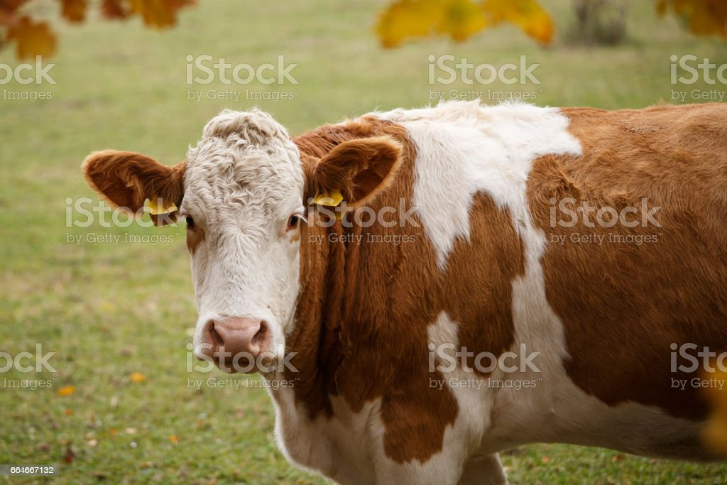 Brown and white dairy cow in pasture, Czech Republic stock photo
