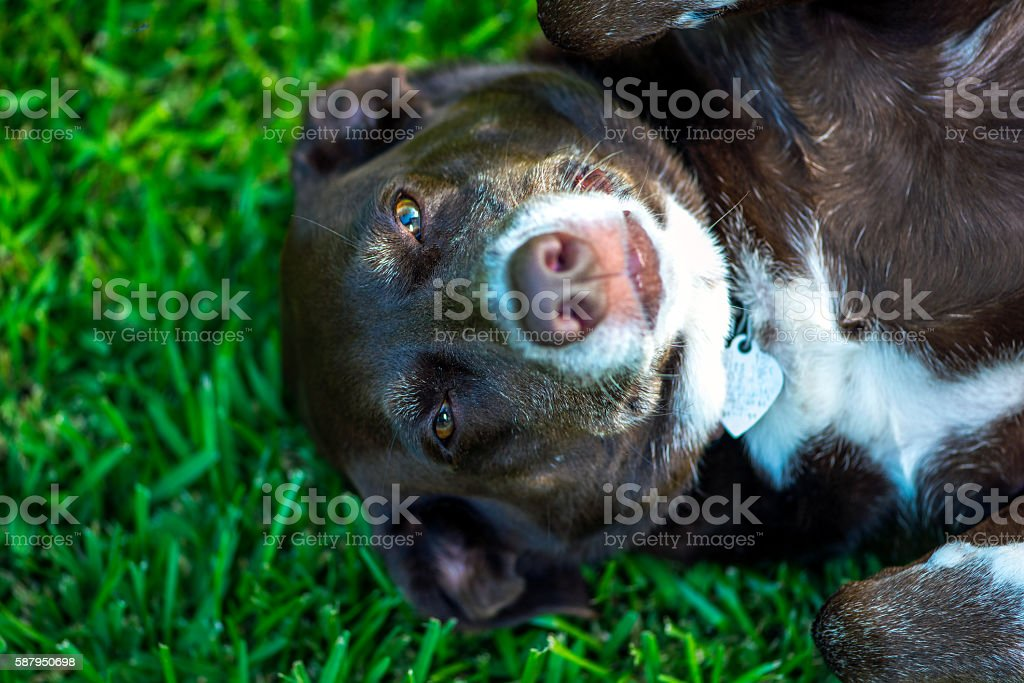Brown and White Dog Lying in Grass stock photo